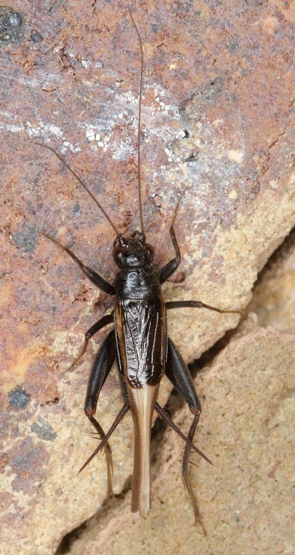 Pteronemobius nundra at Kambah, ACT - 29 Dec 2019