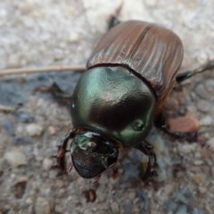 Onitis aygulus (Aygulus dung beetle) at Belconnen, ACT - 29 Dec 2019 by Laserchemisty