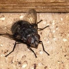 Rutilia (Donovanius) sp. (genus & subgenus) (A Bristle Fly) at Banks, ACT - 30 Dec 2019 by UserfaKgHkxs