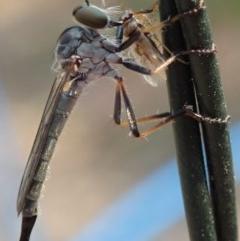 Cerdistus sp. (genus) (Robber fly) at Spence, ACT - 27 Dec 2019 by Laserchemisty