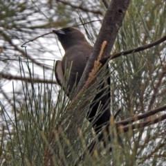 Artamus cyanopterus (Dusky Woodswallow) at Isobella Pond - 28 Dec 2019 by RodDeb
