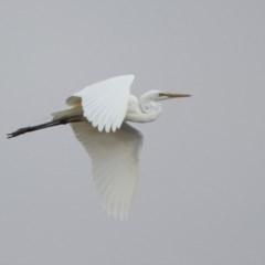 Ardea alba (Great Egret) at Isabella Pond - 28 Dec 2019 by RodDeb