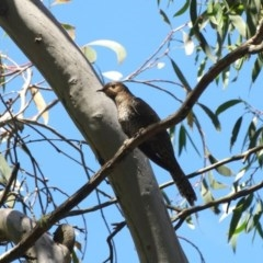 Cacomantis flabelliformis (Fan-tailed Cuckoo) at Wingecarribee Local Government Area - 30 Dec 2016 by JanHartog