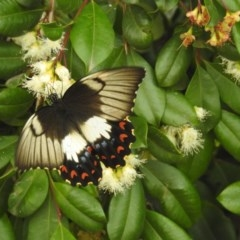 Papilio aegeus (Orchard Swallowtail, Large Citrus Butterfly) at Berry, NSW - 29 Dec 2019 by Andrejs