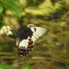Papilio aegeus at Berry, NSW - 30 Dec 2019