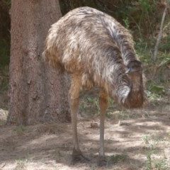 Dromaius novaehollandiae (Emu) at Cotter Reserve - 14 Dec 2019 by jeffmelvaine