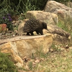 Tachyglossus aculeatus (Short-beaked Echidna) at Oakdale, NSW - 19 Dec 2019 by Lyrebird