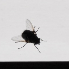 Rutilia sp. (genus) (A Rutilia bristle fly, subgenus unknown) at Aranda, ACT - 31 Dec 2019 by KMcCue