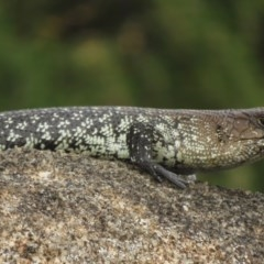 Egernia cunninghami (Cunningham's Skink) at Jindabyne, NSW - 31 Dec 2019 by RobParnell