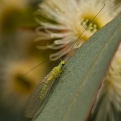 Chrysopidae sp. (family) (Unidentified Green lacewing) at Googong, NSW - 28 Dec 2019 by WHall