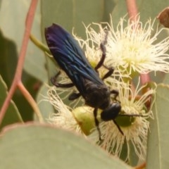 Austroscolia soror (Blue-winged flower wasp) at West Belconnen Pond - 1 Jan 2020 by Christine