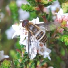 Villa sp. (genus) (Unidentified Villa bee fly) at Snowy Plain, NSW - 29 Dec 2019 by Harrisi