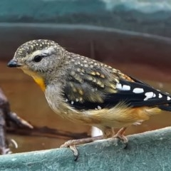 Pardalotus punctatus (Spotted Pardalote) at Page, ACT - 1 Jan 2020 by dimageau