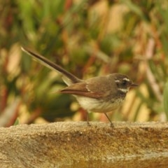 Rhipidura albiscapa (Grey Fantail) at Berry, NSW - 1 Jan 2020 by Andrejs