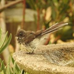 Rhipidura albiscapa at Berry, NSW - 1 Jan 2020