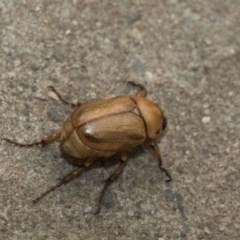 Cyclocephala signaticollis (Argentinian scarab) at Higgins, ACT - 2 Jan 2020 by AlisonMilton