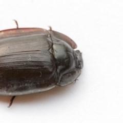 Pterohelaeus piceus (Pie-dish beetle) at Higgins, ACT - 2 Jan 2020 by AlisonMilton