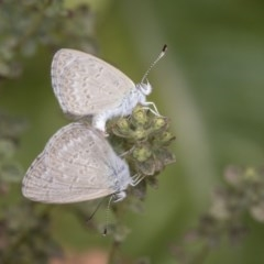 Zizina otis (Common Grass-blue) at Higgins, ACT - 1 Jan 2020 by AlisonMilton