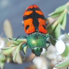 Castiarina scalaris (Scalaris jewel beetle) at Brindabella, NSW - 2 Jan 2020 by Harrisi