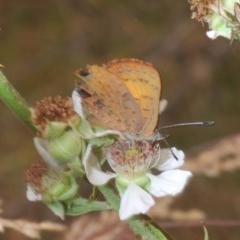 Paralucia aurifer (Bright Copper) at Bimberi Nature Reserve - 2 Jan 2020 by Harrisi