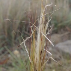 Austrostipa densiflora (Foxtail Speargrass) at Conder, ACT - 21 Nov 2019 by michaelb