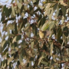 Smicrornis brevirostris (Weebill) at Cook, ACT - 2 Jan 2020 by Tammy