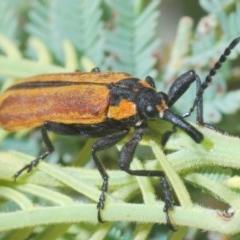 Rhinotia haemoptera (Lycid-mimic belid weevil, Slender Red Weevil) at Uriarra, NSW - 2 Jan 2020 by Harrisi