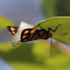 Asura lydia (Lydia Lichen Moth) at ANBG - 18 Nov 2019 by AlisonMilton