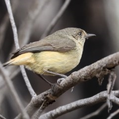 Acanthiza reguloides (Buff-rumped Thornbill) at Bruce, ACT - 11 Nov 2019 by Alison Milton