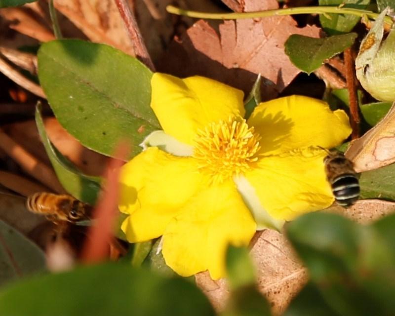 Amegilla sp. (genus) at ANBG - 3 Jan 2020