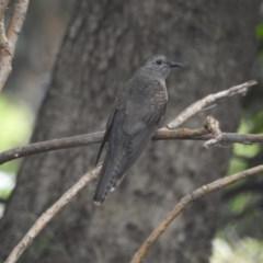 Cacomantis variolosus (Brush cuckoo) at Berry, NSW - 2 Jan 2020 by Andrejs