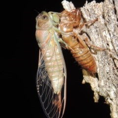 Galanga labeculata (Double-spotted cicada) at Conder, ACT - 10 Dec 2019 by michaelb