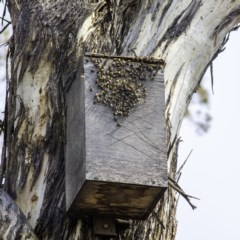 Apis mellifera (European honey bee) at Tuggeranong Hill - 3 Jan 2020 by LadDownUnder