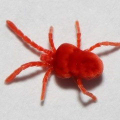 Trombidiidae sp. (family) (Red velvet mite) at Evatt, ACT - 3 May 2018 by TimL