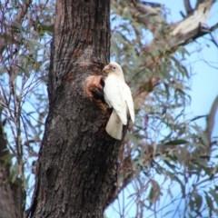 Cacatua tenuirostris (Long-billed Corella) at Mittagong, NSW - 7 Oct 2018 by JanHartog