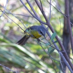 Eopsaltria australis (Eastern Yellow Robin) at Upper Nepean - 7 Nov 2018 by JanHartog