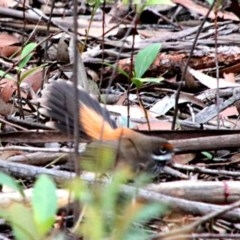 Rhipidura rufifrons (Rufous Fantail) at Upper Nepean - 23 Oct 2018 by JanHartog