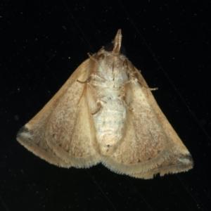 Mataeomera coccophaga at Ainslie, ACT - 3 Jan 2020