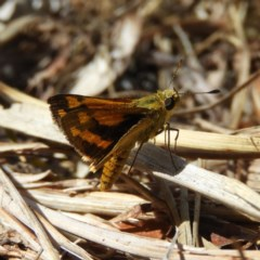 Ocybadistes walkeri (Greenish Grass-dart) at Kambah, ACT - 6 Dec 2019 by MatthewFrawley