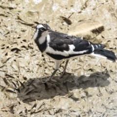 Grallina cyanoleuca (Magpie-lark) at Gungaderra Creek Ponds - 30 Dec 2019 by Alison Milton