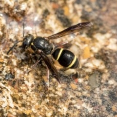 Eumeninae sp. (subfamily) (Unidentified Potter wasp) at Higgins, ACT - 27 Dec 2019 by AlisonMilton