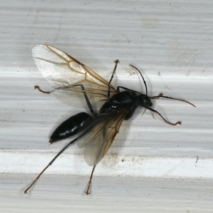 Formicidae sp. (family) at Ainslie, ACT - 3 Jan 2020