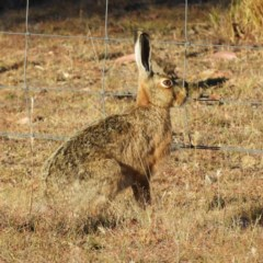 Lepus capensis (Brown Hare) at Yass River, NSW - 7 Dec 2019 by MatthewFrawley