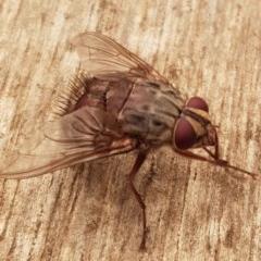 Rutilia (Rutilia) sp. (genus & subgenus) (Bristle fly) at Weston, ACT - 5 Jan 2020 by AliceH