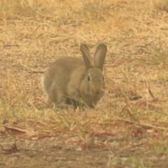 Oryctolagus cuniculus (European Rabbit) at Macarthur, ACT - 4 Jan 2020 by RodDeb