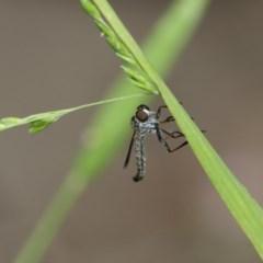 Cerdistus sp. (genus) (Robber fly) at Higgins, ACT - 29 Dec 2019 by AlisonMilton