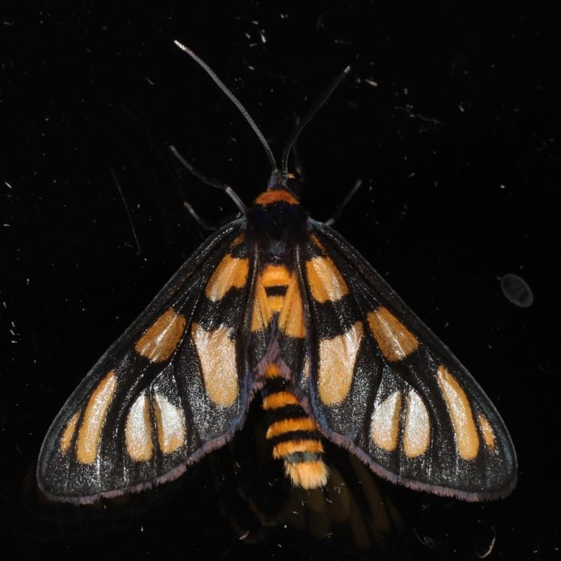 Amata (genus) at Ainslie, ACT - 1 Jan 2020