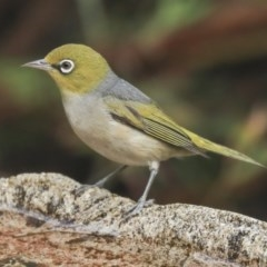 Zosterops lateralis (Silvereye) at Higgins, ACT - 21 Dec 2019 by Alison Milton