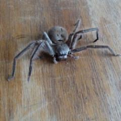 Isopeda sp. (genus) (Huntsman Spider) at Alpine - 2 Jan 2017 by JanHartog