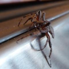 Dolophones conifera (Wrap-around spider) at Rugosa at Yass River - 1 Jan 2020 by SenexRugosus